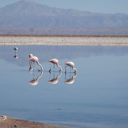 Flamingos Chile