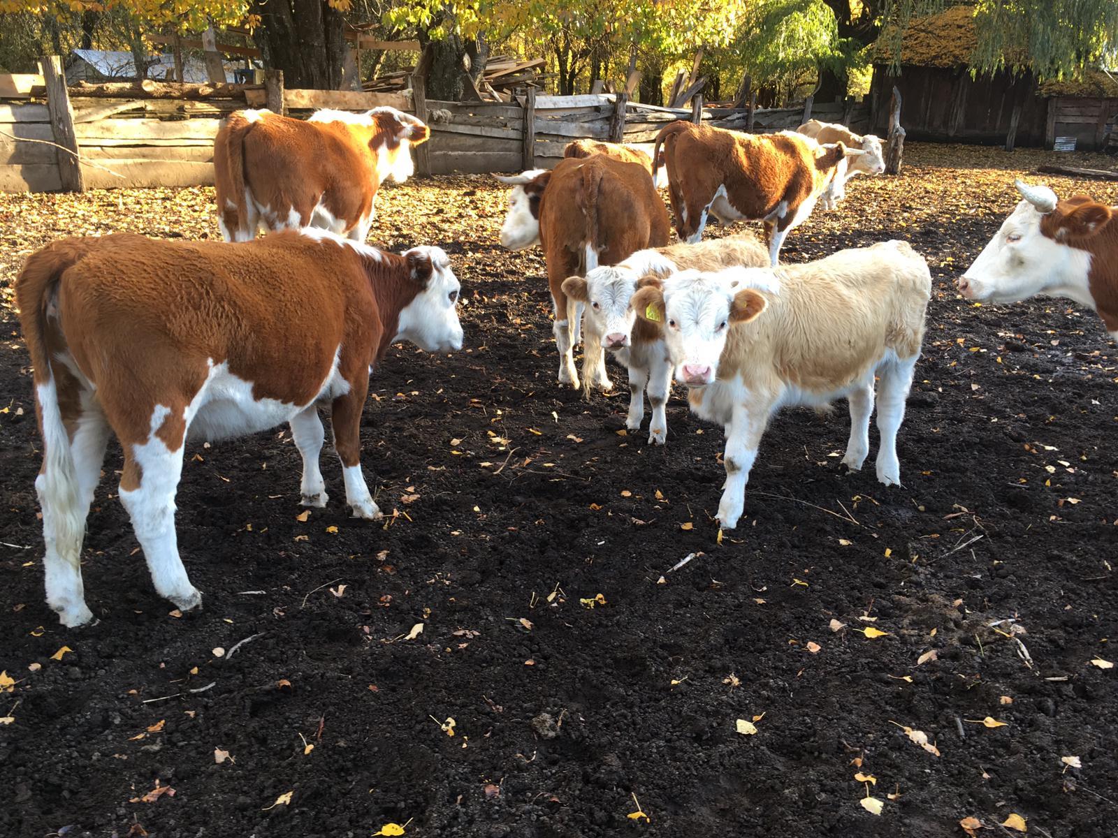 Rinderfarm Chile